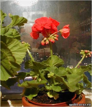 Гербера цветок комнатный